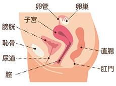 子宮とその周辺の臓器